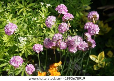 Armeria maritima in the garden in June. Armeria maritima, the thrift, sea thrift or sea pink, is a species of flowering plant in the family Plumbaginaceae. Berlin, Germany Foto stock ©