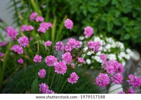 Armeria maritima in the garden in May. Armeria maritima, the thrift, sea thrift or sea pink, is a species of flowering plant in the family Plumbaginaceae. Berlin, Germany  Foto stock ©