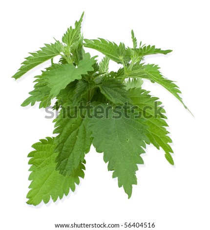 Armful of a green nettle on  white a background