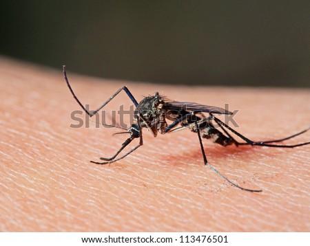 Armigeres subalbatus mosquito feeding on human.
