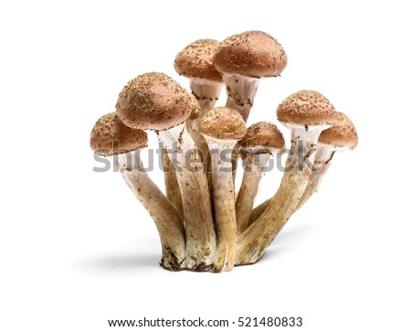 Armillaria mellea - Honey gel Hallimasch mushroom, isolated