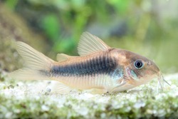 Armored catfish, Corydoras aeneus, tropical freshwater fish in the aquarium