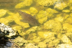 Armored Catfish is also called Sailfin Catfish, the vermiculated Sailfin and the Hypostomus (Plecos). This invasive species is found in Florida.