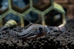 Armored catfish or Cory catfish look for food in aquatic soil near decorative and snail in fresh water aquarium tank.
