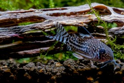 Armored catfish or Cory catfish look for food in aquatic soil near timber decorative in fresh water aquarium tank.