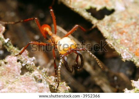 Army ant soldier with big mandibles