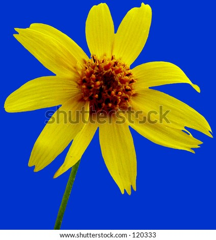Arnica   close-up of flower on blue
