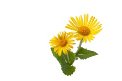 Arnica flower isolated on white backgroubd, Wolf Bane Wildflower