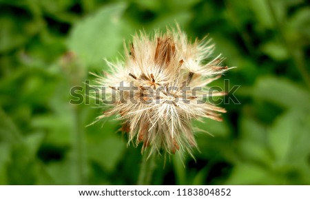 Arnica montana cypelas. Arnica is also known as wolf's bane, leopard's bane and mountain tobacco  Zdjęcia stock ©