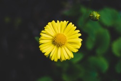 Arnica montana shown closeup. Arnica montana, also known as wolf's bane, leopard's bane, mountain tobacco and mountain arnica, is a moderately toxic ethnobotanical European flowering plant.