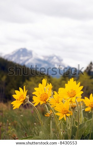 Arnica Rocky Mountain Wild Flower.