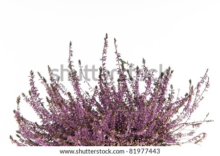 Aromatic bunch of lavender isolated on white background