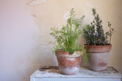 Aromatic Herbs in a Vase: Rosemary and Fennel