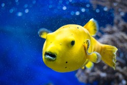 Arothron Meleagris Citrinellus, is a tropical fish having as origin the Indian Ocean.
