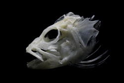 Arowana fish head bone with black background