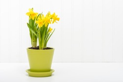 Arrangement of beautiful daffodils planted in a green flower pot.