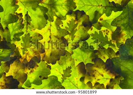 arrangement of oak leaves backlit