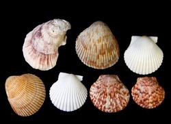 Arrangement of Sea shells on black background, clam, oyster, and scallop