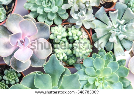 arrangement of the succulents or cactus succulents , overhead or top view
