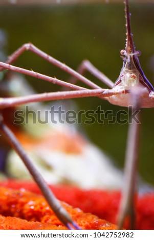 Arrow Crab (Stenorhynchus seticornis) #1042752982