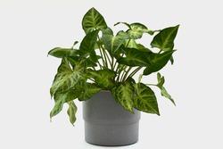 arrowhead plant in a grey plant pot