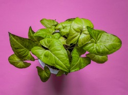 Arrowhead vine (Sygonium podophyllum) plant  on pink background. Top view, flat lay, from above. Botanical background.