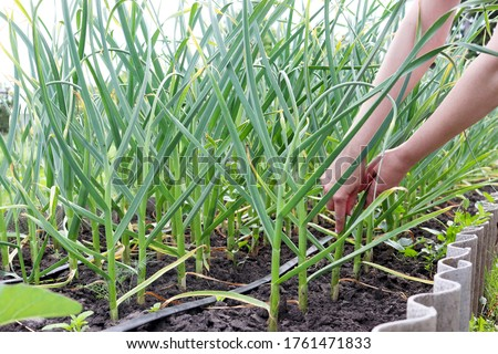 Arrows of young green garlic on open soil in female hands. Plants without GMOs. The beds of the unripe crop. Vegetarian food. Regenerative agriculture. Horizontal position. Foto stock ©