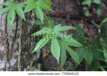 Arrrowhead plant medicinal plant #730868122