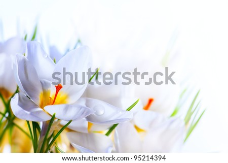 Art Beautiful Spring White crocus Flowers on white background