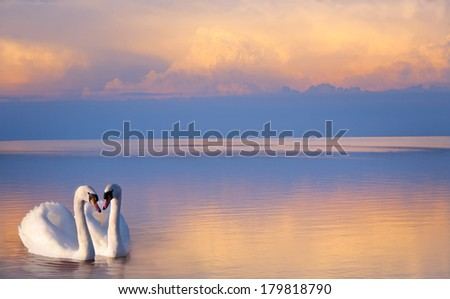 Stock Photo art  beautiful Two white swans on a lake