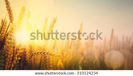 art golden wheat field and sunny day #310124234