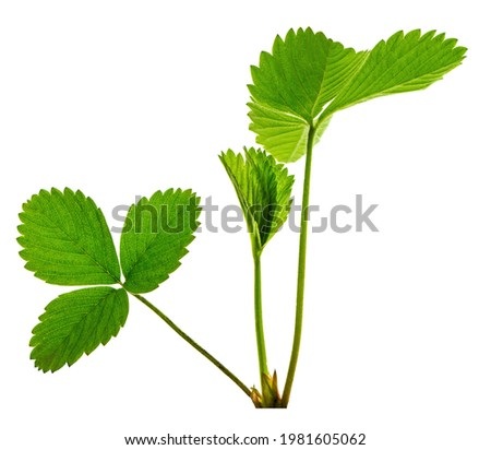 Art green strawberry leaf , Strawberry tree leaves , Wild strawberry leaves background. Bright green leaves of a strawberry. Strawberries bushes background. isolated.