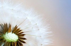 art photo of dandelion seeds close up on natural blurred background