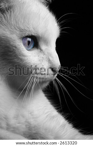 Art, White Cat in Black and White With Blue Eyes