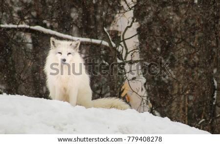 Artctic fox in the snow #779408278