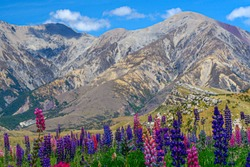 Arthur's Pass, Southern Island, New Zealand. Amazing arid brown mountains contrasting with the blue of the sky. Nice patches of colors brought by these beautiful Lupin.
