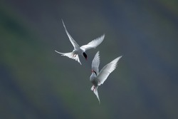 Artic Tern in flight and backlight