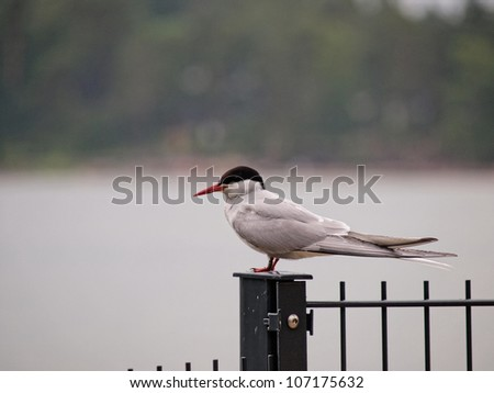 Artic tern sitting alone,, resting between hunting