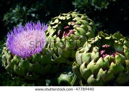 Artichoke Flower and Artichokes growing