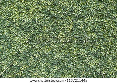 Artificial Boxwood wall. #1137211445