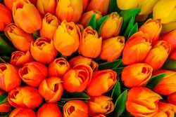 """Artificial colorful tulips in orange, red, and yellow colors with green leaves - imported to Holland, became popular in paintings & festivals, creating 1st economic bubble, """"Tulip Mania"""