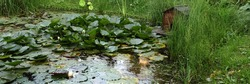 Artificial Decorative Pond in Backyard Garden with Fish and Water Plants Like an Wild in Nature. Handmade Pond in Back Yard Garden with Water Plants. Garden Rest Area At Water Surface.