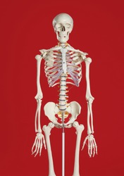 Artificial human skeleton model on red background