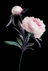 artificial peonies on black background