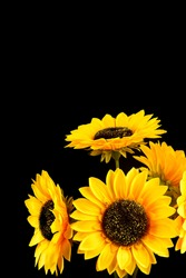 Artificial sun flower isolated black background