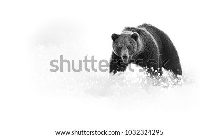 Artistic, black and white photo of a wild Brown Bear, Ursus arctos, huge male on arctic meadow covered on flowering grass staring directly at camera. Wildlife photography in taiga wilderness
