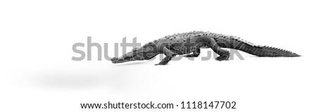 Artistic, black and white photo of American Crocodile, Crocodylus acutus, walking on the sandy beach. Crocodile, isolated on white background. Tarcoles river, Costa Rica.