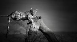 Artistic, black and white photo of an African Leopard, Panthera pardus, lying on the tree, isolated on dark background. Eye contact with african top predator. Okonjima, Namibia.