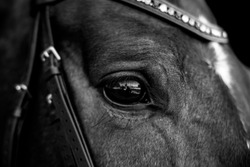 Artistic black and white photo of horse's eye