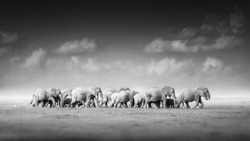 Artistic, black and white photo of large herd of African Elephants, Loxodonta africana, from adults to newborn calf against dark background, savanna, low angle photo. Amboseli national park, Kenya.
